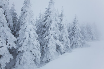 Fir trees covered in snow, near Schauinsland; Black Forest, Germany
