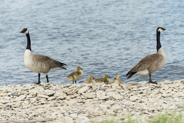 Canada geese (Branta canadensis) on the rocky shore of the golf course pond with their goslings, Hecla-Grindstone Provincial Park; Riverton, Manitoba, Canada