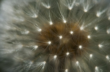 Close up of a dandelion seed head; Astoria, Oregon, United States of America