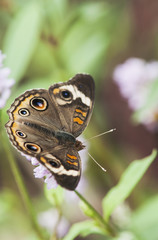 A Buckeye Butterfly (Junonia Coenia) Rests On A Flower; Vian, Oklahoma, United States Of America