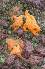 Sea Stars And Anemones Are Revealed By A Minus Tide; Cannon Beach, Oregon, United States Of America