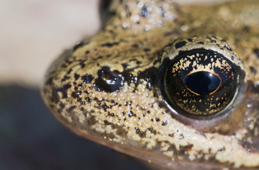 Close Up View Of The Eye Of A Red-Legged Frog; Astoria, Oregon, United States Of America