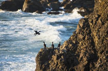 Pelagic Cormorants (Phalacrocorax Pelagicus) Rest On The Rocks; Cannon Beach, Oregon, United States Of America