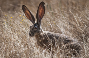 A Black-Tailed Jackrabbit (Lepus Californicus) Lurks In The Grass; Willows, California, United States Of America
