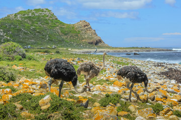Three wild ostriches in Cape of Good Hope Nature Reserve, Cape Peninsula National Park, South Africa. The Cape of Good Hope section of Table Mountain National Park.