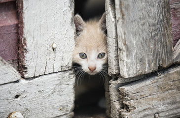 Kitten Peeking Through Barn Doors; Steinbach, Manitoba, Canada