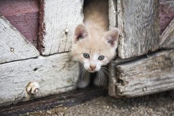 Kitten Peeking Through Barn Doors; Steinbach, Manitoba, Canada