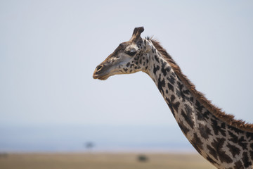 A giraffe (Giraffa camelopardalis) stretches out its head and neck on the African savannah in the sunshine with a couple of small acacia trees in the background; Narok, Kenya