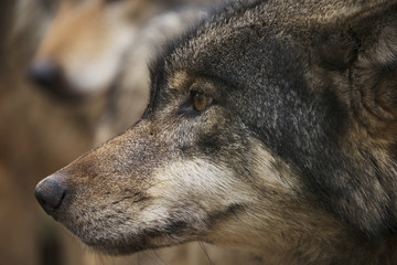 Close up of a wolf head in profile; Brest, Belarus
