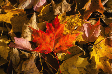 Red maple leaf on leaf background; Knowlton, Quebec, Canada