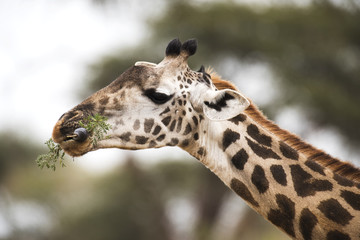 Close up of Maasai Giraffe (Giraffa camelopardalis) with tongue wrapped around acacia leaves, Tarangire National Park; Tanzania