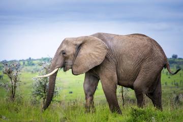 Elephant, Murchison Falls National Park; Uganda