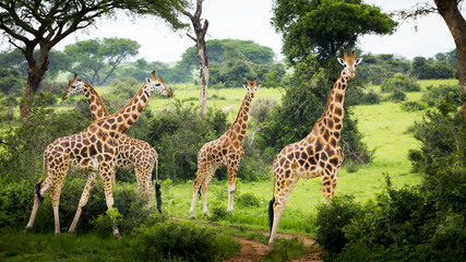Giraffes (Giraffa camelopardalis), Murchison Falls National Park; Urganda