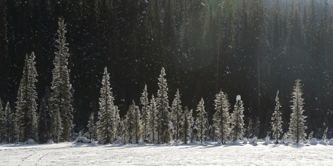 Snowfall and snow covered trees, Yoho National park; Field, British Columbia, Canada