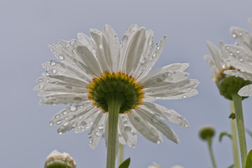 Raindrops cling to daisy petals; Astoria, Oregon, United States of America