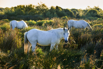 White horses grazing in the tall grass, Regional Nature Park of the Camargue; Camargue, Provence-Alpes-Cote D'Azur, Bouches-Du-Rhone, France