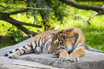 Tiger Resting 6