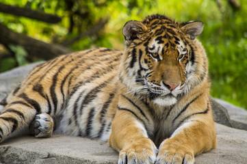 Tiger Resting 1