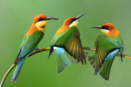 Chestnut-headed bee-eater (Merops leschenaulti) a brightly green