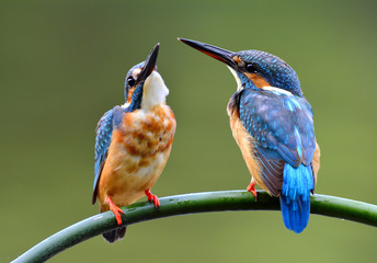 Lovely pair of Common Kingfisher (Alcedo atthis) beautiful small