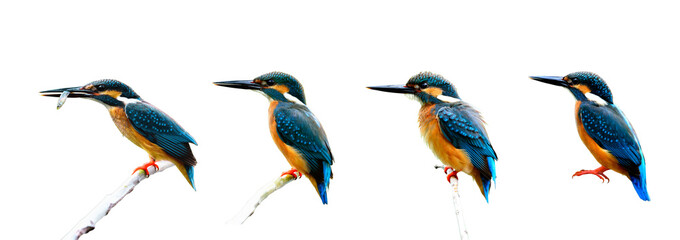 Set of Common Kingfisher (Alcedo atthis) the beautiful littlel b