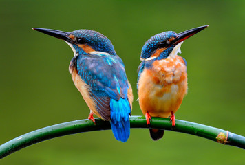 Sweet pair of Common Kingfisher (Alcedo atthis) beautiful small