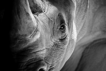 Poster de jardin Rhino A Rhino Ready to Charge