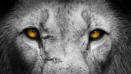 Spoed Foto op Canvas Leeuw Golden Eyes Lion Face
