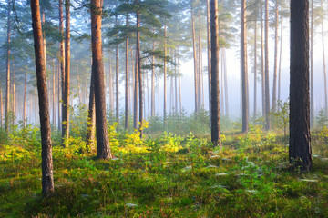 Foggy sunrise in the deciduous forest in Latvia.