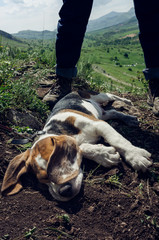beagle puppy sleeping on the ground