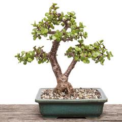 Jadebaum (Portulacaria afra) als Bonsai Baum