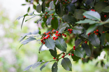 Holly tree branch with red berries