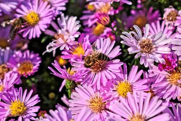 A closeup of a bee on a purple flower