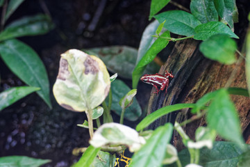 grenouille rouge et blanche
