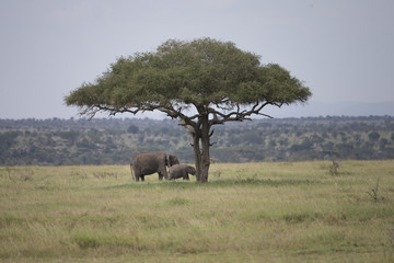 Elephants under Acacia tree in Serengeti