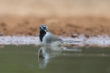 Black-throated Sparrow bathing