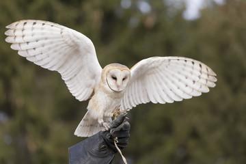 Barn owl landing on falconer's glove