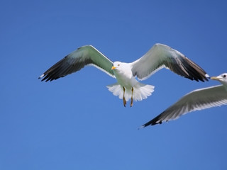 Seagull flying in the air