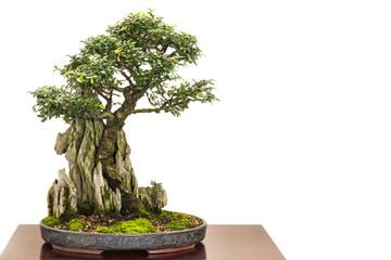Ulme als Bonsai wächst über einen Felsen