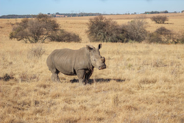 Poster Rhino White rhinoceros with sawed of horn to protect against poachers