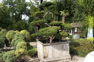 Bonsai in a wooden box. Well. Decorative garden