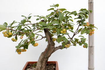 Miniature tree with fruits in a pot. Bonsai.