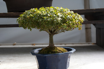 Miniature tree in a pot. Bonsai.