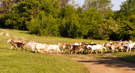 a herd of goats to pasture, selective focus