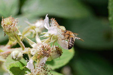 Hairy footed honey bee collecting pollen from a bramble