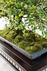 Ulme mit grünem Laub als Bonsai Baum
