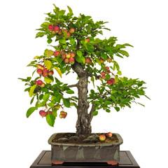 Apfelbaum (Malus) als Bonsai mit roten  Apfeln