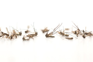 Mosquito on white background,mosquito dead.