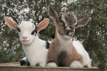 Ritratto di due piccole capre nane