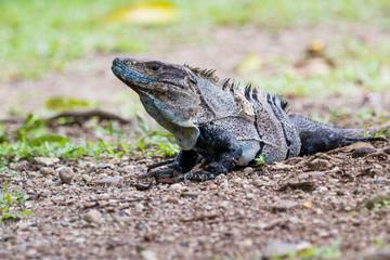 Tropical Iguana in Costa Rica
